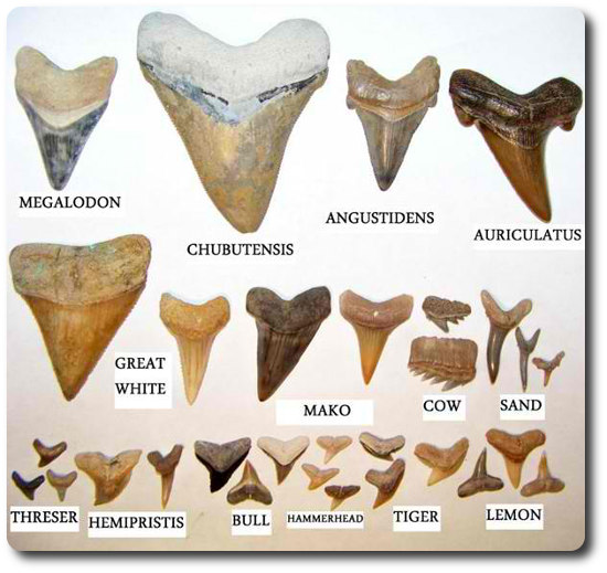 Types Of Shark Teeth