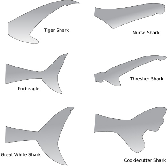 Types Of Shark Tail Fins