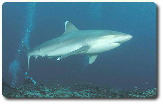 Learn Interesting Shark Facts About The Silvertip - Shark ...