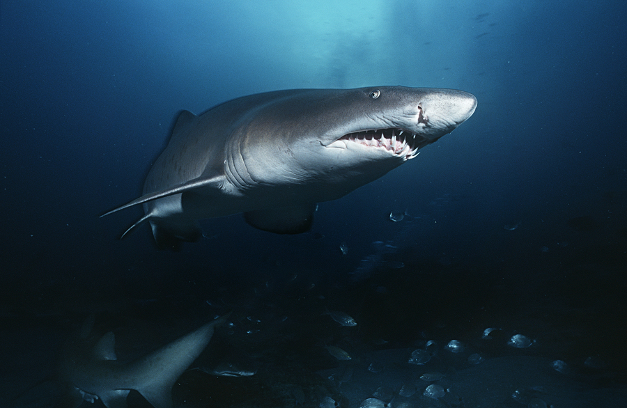 Sand Tiger Shark Facts
