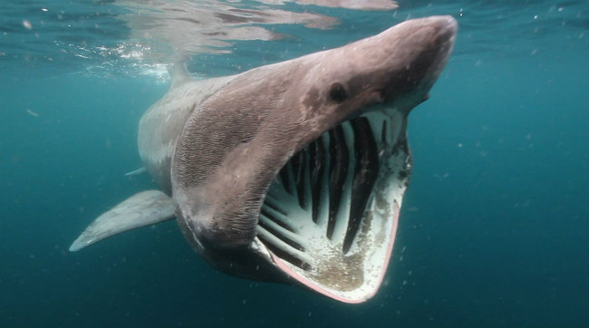 Basking Shark Filter