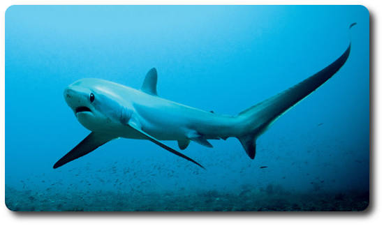 Learn Some Amazing Thresher Shark Facts Right Here - Shark Sider